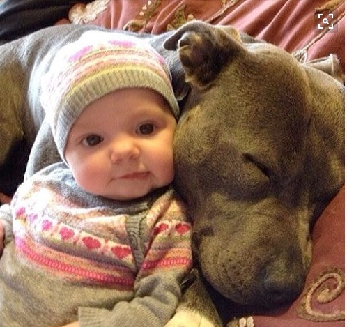 12 Reasons Why You Should Never Ever Adopt A Pit Bull - Icepop