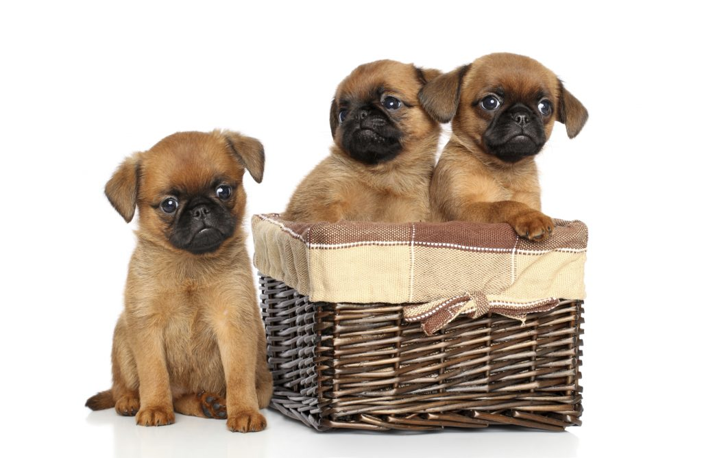 Cutest Small Dog Breeds That Get Along With Other Dogs