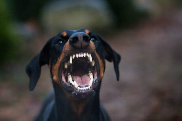 Doberman Attacks